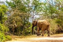 Μεγάλος ελέφαντας σε Olifantdrinkgat, μια τρύπα ποτίσματος κοντά στο στρατόπεδο υπολοίπου Skukuza, στο εθνικό πάρκο Kruger Στοκ φωτογραφία με δικαίωμα ελεύθερης χρήσης