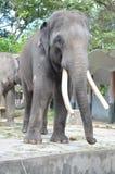 Μεγάλος ελέφαντας στο ζωολογικό κήπο Στοκ φωτογραφίες με δικαίωμα ελεύθερης χρήσης