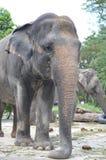 Μεγάλος ελέφαντας στο ζωολογικό κήπο Στοκ εικόνα με δικαίωμα ελεύθερης χρήσης