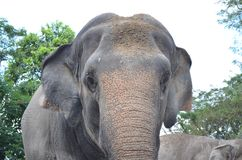 Μεγάλος ελέφαντας στο ζωολογικό κήπο Στοκ Εικόνα