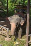 Μεγάλος ελέφαντας της Ασίας Στοκ εικόνες με δικαίωμα ελεύθερης χρήσης