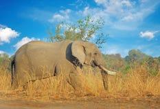 Μεγάλος ελέφαντας του Bull που στέκεται στο λεωφορείο με ένα φυσικό μπλε νεφελώδες υπόβαθρο ουρανού στο νότιο luangwa, Ζάμπια Στοκ Εικόνα