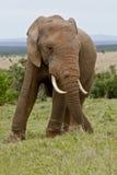 Μεγάλος ελέφαντας Στοκ φωτογραφία με δικαίωμα ελεύθερης χρήσης