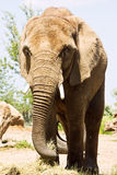 μεγάλος ελέφαντας Στοκ Φωτογραφίες