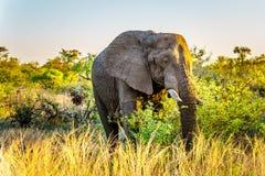 Μεγάλος ελέφαντας Bull στο ηλιοβασίλεμα στο εθνικό πάρκο Kruger Στοκ εικόνα με δικαίωμα ελεύθερης χρήσης