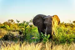 Μεγάλος ελέφαντας Bull στο ηλιοβασίλεμα στο εθνικό πάρκο Kruger Στοκ εικόνες με δικαίωμα ελεύθερης χρήσης