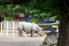 Μεγάλος ινδικός ρινόκερος που τρώει το άχυρο στο ζωολογικό κήπο Στοκ Φωτογραφίες