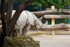 Μεγάλος ινδικός ρινόκερος που τρώει το άχυρο στο ζωολογικό κήπο Στοκ φωτογραφία με δικαίωμα ελεύθερης χρήσης