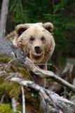Μεγάλος καφετής αντέχει στο δάσος Στοκ φωτογραφία με δικαίωμα ελεύθερης χρήσης