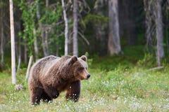 Μεγάλος καφετής αντέχει τα arctos Ursus στο δάσος Στοκ Φωτογραφίες