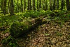 Μεγάλος κλώνος των δέντρων που καλύπτονται με το βρύο στο δάσος στοκ φωτογραφία