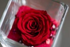 Μεγάλος, κόκκινος αυξήθηκε άνθος, εικόνα δώρων αγάπης Στοκ εικόνες με δικαίωμα ελεύθερης χρήσης