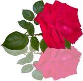 Μεγάλος κόκκινος αυξήθηκε λουλούδι με την αντανάκλαση στο λευκό Στοκ Φωτογραφίες