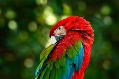 Μεγάλος κόκκινος παπαγάλος κόκκινος-και-πράσινο Macaw, chloroptera Ara, που κάθεται στον κλάδο με το κεφάλι κάτω, Βραζιλία Σκηνή  Στοκ εικόνες με δικαίωμα ελεύθερης χρήσης