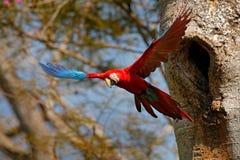 Μεγάλος κόκκινος παπαγάλος, μύγα από την τρύπα φωλιών Κόκκινος-και-πράσινο Macaw, chloroptera Ara, στο σκούρο πράσινο δασικό βιότ Στοκ φωτογραφία με δικαίωμα ελεύθερης χρήσης