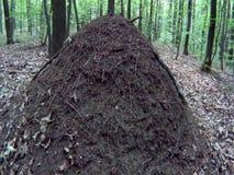Μεγάλος λόφος μυρμηγκιών στα ξύλα απόθεμα βίντεο