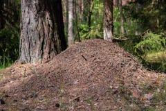 Μεγάλος λόφος μυρμηγκιών στο ευρωπαϊκό δάσος στο φως πρωινού Μυρμηγκοφωλιά, formicary δομή φωλιών φιαγμένη από βελόνες δέντρων πε στοκ εικόνες