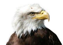 Μεγάλος μεγαλοπρεπής αετός πουλιών στο άσπρο υπόβαθρο στοκ φωτογραφίες με δικαίωμα ελεύθερης χρήσης