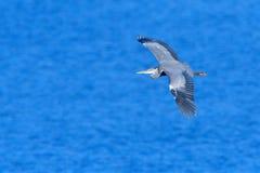 Μεγάλος μπλε ερωδιός αλιεύοντας Στοκ εικόνες με δικαίωμα ελεύθερης χρήσης