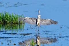 Μεγάλος μπλε ερωδιός αλιεύοντας Στοκ φωτογραφία με δικαίωμα ελεύθερης χρήσης