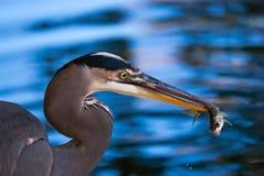 Μεγάλος μπλε ερωδιός που πιάνει ένα ψάρι Στοκ Εικόνες