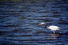 Μεγάλος μπλε ερωδιός στα ρηχά νερά Στοκ Εικόνες