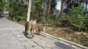 Μεγάλος πίθηκος με ένα μωρό Καφετιά μάτια, χνουδωτή γούνα και ενδιαφέρων βηματισμός απόθεμα βίντεο