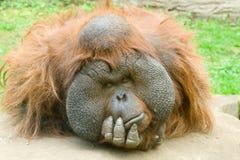 μεγάλος πίθηκος Στοκ Εικόνες