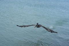 Μεγάλος πελεκάνος νερού που πετά στα ύψη μέσω της aruban ακτής Στοκ εικόνα με δικαίωμα ελεύθερης χρήσης