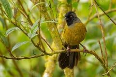 Μεγάλος-πληρωμένο Finch - πουλί passerine capitalis Pezopetes ενδημικό στις ορεινές περιοχές της Κόστα Ρίκα και του δυτικού Παναμ στοκ εικόνα με δικαίωμα ελεύθερης χρήσης