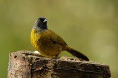 Μεγάλος-πληρωμένο Finch - πουλί passerine capitalis Pezopetes ενδημικό στις ορεινές περιοχές της Κόστα Ρίκα και του δυτικού Παναμ στοκ εικόνες