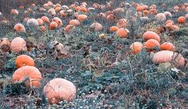 Μεγάλος τομέας με τις χρυσές πορτοκαλιές κολοκύθες, χρόνος φθινοπώρου, κολοκύνθη, γεωργία στοκ φωτογραφία με δικαίωμα ελεύθερης χρήσης