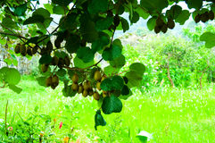 Μεγάλος τομέας του ακτινίδιου στο δέντρο στοκ φωτογραφίες