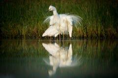 Μεγάλος τσικνιάς - Ardea alba στη λίμνη νερού με τα άσπρα φτερά opend Στοκ Εικόνες