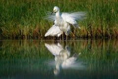 Μεγάλος τσικνιάς - Ardea alba στη λίμνη νερού με τα ανοιγμένα άσπρα φτερά Στοκ εικόνα με δικαίωμα ελεύθερης χρήσης