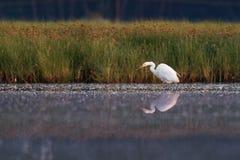 Μεγάλος τσικνιάς - Ardea alba στη λίμνη νερού με τα ανοιγμένα άσπρα φτερά Στοκ Εικόνες