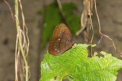 Μεγάλος φαύνος Assam, assama eumeus Faunis, βούρτσα-πληρωμένη οικογένεια πεταλούδων Στοκ Φωτογραφία