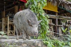 Μεγάλος χοίρος κοντά στον καφέ παραλιών στο νησί Phangan, Ταϊλάνδη στοκ εικόνες