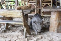Μεγάλος χοίρος με τη γάτα πιπεροριζών στον καφέ παραλιών, Ταϊλάνδη o στοκ φωτογραφία με δικαίωμα ελεύθερης χρήσης