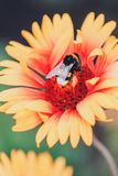 μεγάλος bumble μελισσών Στοκ Εικόνα