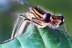 Μεγάλος-eyed περίεργη λιβελλούλη, που κάθεται σε ένα φύλλο ενός φυτού στοκ φωτογραφίες