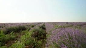 Μεγάλος Lavender τομέας απόθεμα βίντεο