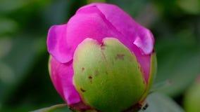 Μεγάλος peony οφθαλμός με το peony θάμνο μυρμηγκιών, όμορφα λουλούδια στον κήπο φιλμ μικρού μήκους