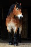 μεγάλο άλογο Στοκ Φωτογραφίες