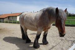 Μεγάλο άσπρο καφετί και μαύρο άλογο εργασίας στοκ φωτογραφία με δικαίωμα ελεύθερης χρήσης