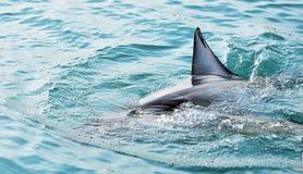 Μεγάλο άσπρο ραχιαίο πτερύγιο καρχαριών που παραβιάζει την επιφάνεια θάλασσας στοκ φωτογραφίες