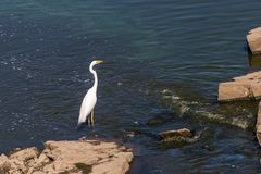 Μεγάλο άσπρο τσικνιάδων στα ρηχά νερά της παράκτιας εκβολής Μεγάλος άσπρος τσικνιάς Ardea alba, επίσης γνωστός ως κοινός τσικνιάς Στοκ Εικόνα