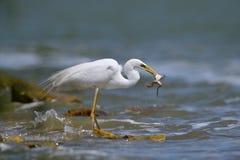 Μεγάλο άσπρο ardea αλιείας τσικνιάδων alba Στοκ εικόνες με δικαίωμα ελεύθερης χρήσης