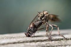 Μεγάλο έντομο που τρώει τη μύγα Στοκ φωτογραφία με δικαίωμα ελεύθερης χρήσης