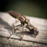 Μεγάλο έντομο που τρώει τη μύγα Στοκ Εικόνες